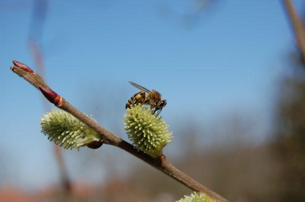 Подршка истраживању генетичке разноврсности медоносних пчела